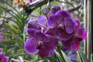 lila Orchideenblume foto