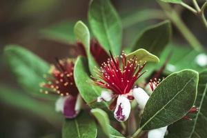 exotische rote Blüten des Ananas-Guavenbaums foto