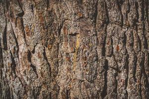 Textur der Rinde einer alten Kiefer foto