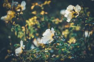 Blüten von Mini-Rosenbüschen foto