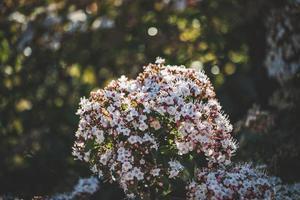 Blüten und Knospen eines Viburnum tinus Strauchs foto