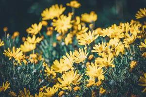 Blüten und Knospen gelber Gänseblümchen