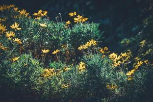 Blüten und Knospen gelber Gänseblümchen foto