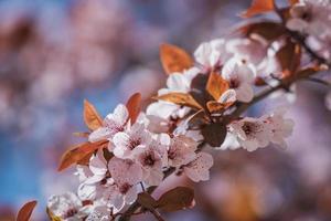 Blüten des Pflaumenbaums im zeitigen Frühjahr foto