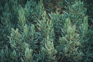 grüne Blätter von süßem Lavendel foto