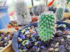 Kaktusblume, die in einem Topf wächst foto