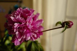 Pfingstrosenblüte und Knospe foto