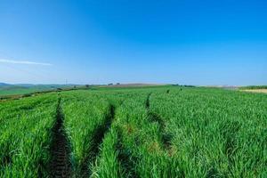 ländliches grünes gesätes Feld mit blauem Himmel foto