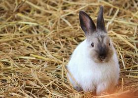 braunes und weißes Kaninchen im Stroh foto
