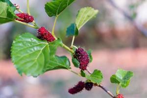frische Maulbeere, schwarze reife und rote unreife Maulbeeren hängen an einem Ast foto
