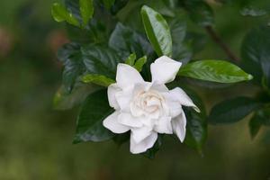 Nahaufnahme einer weißen Kamelienblume und grüner Blätter foto