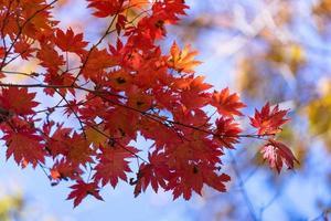 rote Ahornblätter auf einem Baum in einem Wald foto