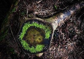 grünes Moos auf einem alten Baumstumpf foto
