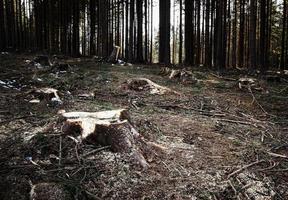 Lichtung im Fichtenwald foto