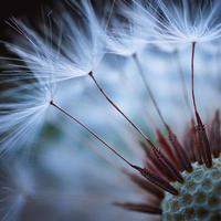 Makro Nahaufnahme einer Löwenzahnblume in der Frühlingssaison foto
