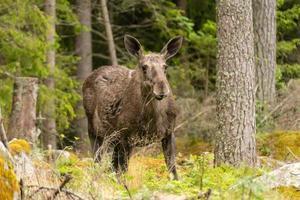 großer weiblicher Elch, der in einem Wald weidet