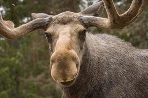Nahaufnahme eines großen männlichen Elches, der in die Kamera schaut