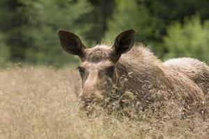 Elche, die im hohen Gras gehen