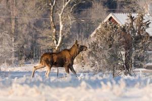 weiblicher Elch, der ein Feld im Hinterhof eines Hauses überquert
