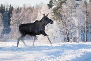 weiblicher Elch, der im tiefen Schnee stolpert