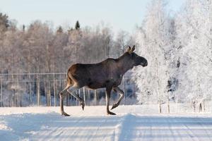weiblicher Elch, der eine Winterstraße in Schweden kreuzt
