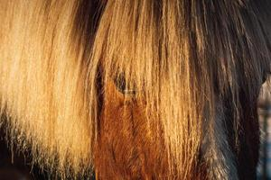 teilweise Nahaufnahme des Kopfes eines kastanienfarbenen Islandpferdes foto