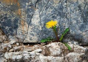 Löwenzahn auf einer Steinmauer foto