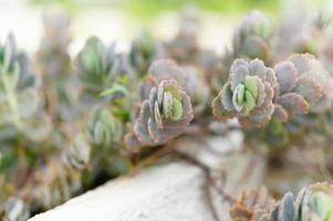 Sukkulenten in einem Blumenbeet im Freien foto