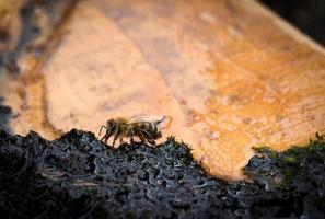 Biene auf nassem Moos foto