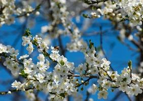 Pflaumenblüten gegen den Himmel