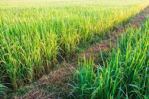 Pfad in grünen Feldern foto