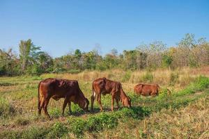 Kühe und Kälber foto