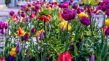 In den ersten warmen Frühlingstagen blühen im Garten mehrfarbige Tulpen