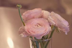 rosa Ranunkelblumen schließen oben in einer Vase mit einem unscharfen Hintergrund foto