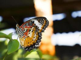 Schließen Sie oben Leopard Florfliege Schmetterling auf grünem Blatt foto