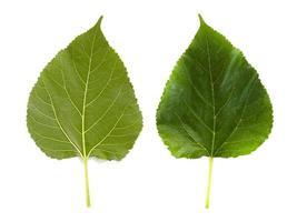 zwei Maulbeerblätter isoliert auf weißem Backgorund foto