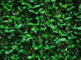 dunkelgrüner Efeu, der an einer Wand wächst foto