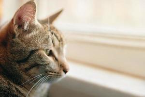 Tabby Katze schaut aus dem Fenster