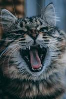 Tabby Katze gähnt