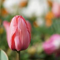 Tropfen auf die roten Tulpenblüten im Frühjahr foto