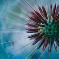 schöne Löwenzahnblume in der Frühlingssaison foto