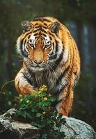 Detailporträt des Sibirischen Tigers foto