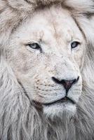 südafrikanischer Löwe foto