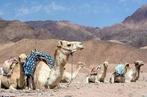 Kamele in der Nähe von Bergen foto
