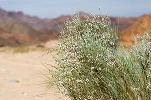 wilde Pflanze in der Wüste foto