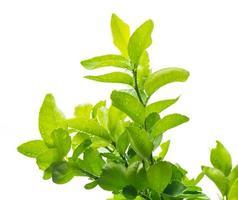 grünes Bergamottenblatt mit Wassertropfen auf lokalisiertem weißem Hintergrund foto