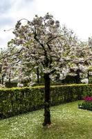 blühender japanischer Kirschblütenbaum