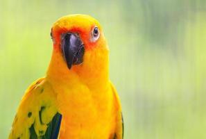 Sun Conure Papageienvögel auf dem Ast, der schönste Vogel der Welt foto