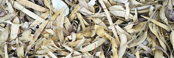 strukturierter Hintergrund von trocken verwelkten gefallenen Herbstblättern von Eukalyptusbäumen foto