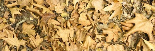 strukturierter Hintergrund des trockenen verwelkten gefallenen Herbstlaubs der Ahornbäume foto